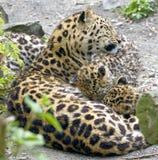 Leopard 9 Amur Στοκ Εικόνες