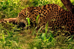 leopard Stockfotos
