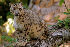 Free Leopard Royalty Free Stock Photography - 90630467