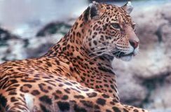Leopard. Resting and looking straight Royalty Free Stock Photography