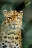 Leopard Stockfotos