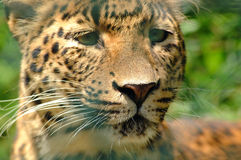 Free Leopard Royalty Free Stock Image - 939466