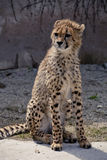 Leopard Acinonyx jubatus Royalty Free Stock Photos