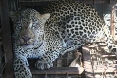 LEOPARD IN AFRICA. A leopard belongs to the cat family and its population has been decreasing at an alarming rate due to human leopard conflict Stock Photo