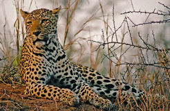 Leopard in Africa Savannah. Image of a spotted african female leopard - panthera pardus- taken in Sabi Sabi private game reserve resting on an ant hill Stock Photos