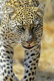 Leopard Royalty Free Stock Images