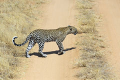 Leopard. African Leopard in Samburu National Park. Kenya Stock Photography
