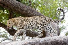 Leopard, Afrika stockfotos