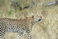 Leopard in Afrika Lizenzfreies Stockfoto