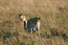 Leopard against Jackal Stock Photography
