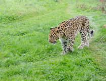 Leopard Alert Royalty Free Stock Photo