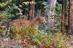 Leopard is alert stock image