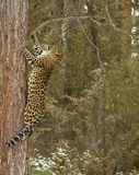 Leopard Amur Στοκ εικόνα με δικαίωμα ελεύθερης χρήσης