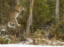 Leopard Amur Στοκ Εικόνες