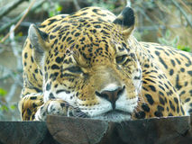 Leopard Amur Στοκ εικόνες με δικαίωμα ελεύθερης χρήσης