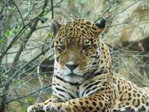 Leopard Amur Στοκ φωτογραφία με δικαίωμα ελεύθερης χρήσης