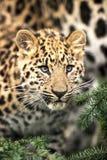 Leopard Amur Cub Στοκ εικόνα με δικαίωμα ελεύθερης χρήσης