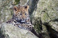 Leopard Amur Cub Στοκ φωτογραφίες με δικαίωμα ελεύθερης χρήσης