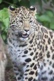 Leopard Amur Cub Στοκ εικόνες με δικαίωμα ελεύθερης χρήσης