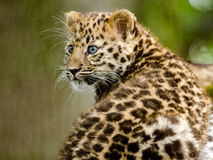Leopard Amur Cub Στοκ Εικόνες