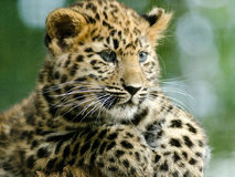Leopard Amur Cub Στοκ φωτογραφία με δικαίωμα ελεύθερης χρήσης