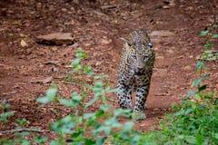 Leopard-Anpirschen Lizenzfreie Stockbilder