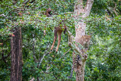 Leopard approaching its kill on a tree Royalty Free Stock Images