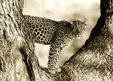 Leopard. Artistic Black and White Image of an African Leopard Stock Photo