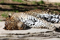 Leopard asleep lazing in the sun Royalty Free Stock Image