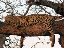 Leopard asleep in tree at sunset Royalty Free Stock Photography