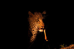 Free Leopard At Night Royalty Free Stock Photos - 17705328