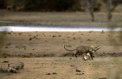 Leopard attacking a Crocodile in Kruger, Africa. Leopard (Panthera pardus) attacking and killing a juvenile Nile Crocodile (Crocodylus niloticus) near a Stock Image