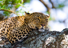 Leopard auf dem Baum Chiang Mai kenia tanzania Maasai Mara serengeti stockfoto