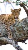 Leopard auf dem Baum Chiang Mai kenia tanzania Maasai Mara serengeti lizenzfreies stockfoto