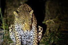 Leopard auf Nachtwache in Kruger lizenzfreies stockbild
