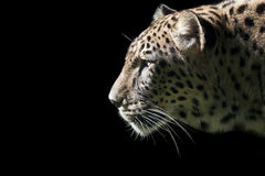Leopard auf Schwarzem stockfotografie
