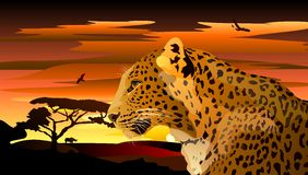 Leopard on a background of African sunset. Stock Photo