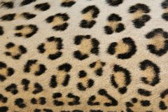 Leopard Background Of Skin And Rosettes -African P Stock Photo