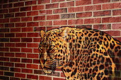 Leopard background. Picture of leopard in the wall Stock Images