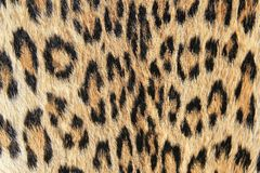 Leopard background of skin and spots -African Predator Royalty Free Stock Images