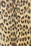 Leopard background of skin and spots - Real colors Royalty Free Stock Photography