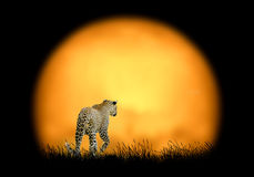 Leopard on the background of sunset Royalty Free Stock Photography