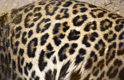 Leopard backgrounds Royalty Free Stock Image