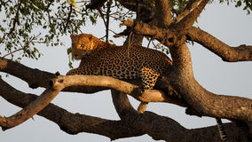 Leopard. Basking in a tree in early morning light Stock Photography