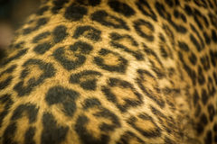 Leopard beast Stock Images