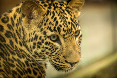 Leopard beast Royalty Free Stock Photography