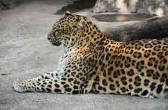 Leopard. A beautiful spotted leopard lying on the ground stock photography