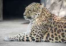 Leopard. A beautiful spotted leopard lying on the ground stock image