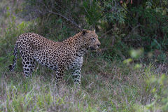Leopard in the beauty of African bush Stock Image
