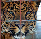 Leopard Behind Fence Stock Photography
